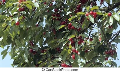 cherry tree with ripe cherries - close up of ripe cherries...
