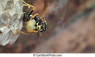 Wasp mother - A wasp mother preparing to feed its larvae