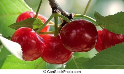 cherry tree with ripe cherries - close up of ripe ch