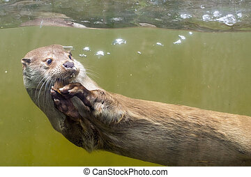 European otter Lutra lutra lutra - Young European otter...