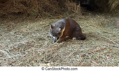 Cat eating a mouse caught in a barn - Cat eating a mouse...