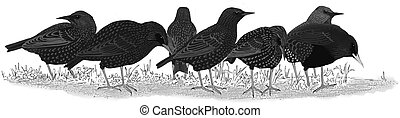 European Starlings - European Starling Flock - Sturnus...