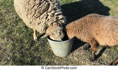 two sheep drinking water from the bucket on pasture - two...