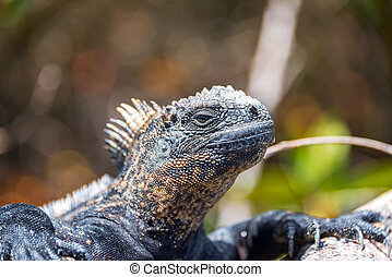 Marine Iguana in Galapagos - Marine iguana relaxing on...