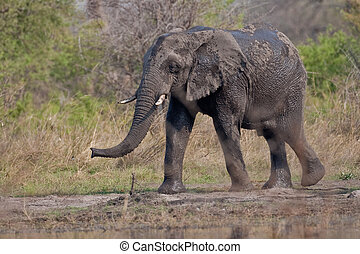 Portrait of a wild elephant in southern Africa.
