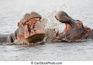 Group of wild hippos  at a waterhole.