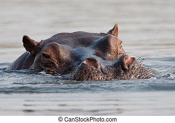 Portrait of wild hippo at a waterhole.