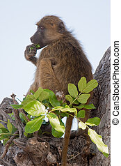 Portrait of a wild baboon in southern Africa.