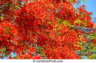 Flamboyant Cuba - the tree Royal Poinciana or Flamboyant,...