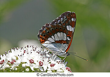 Limenitis reducta, Southern White Admiral