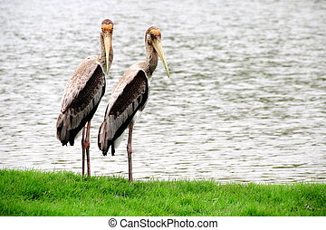 Painted storks Standing on Greengrass with the Lake...