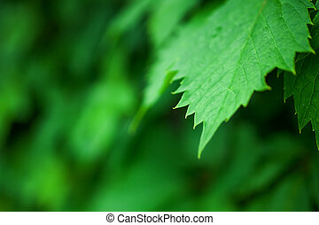 Background with lush green grape leaves