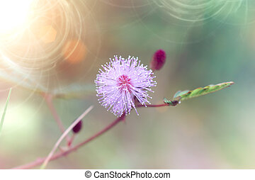 pink flower of sensitive plant mimoza - Vintage tone of pink...