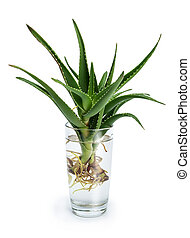 Aloe vera with roots in a glass of water
