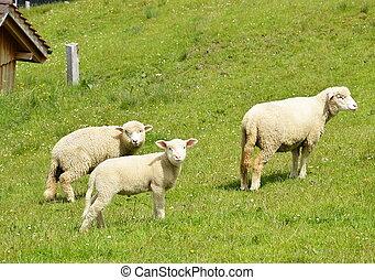 sheep on Appenzell Switzerland