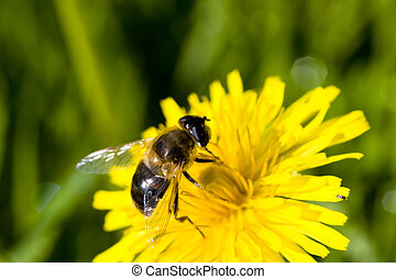bee eating on a dandelion