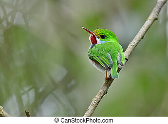 Cuban Tody (Todus multicolor) an endemic species of Cuba