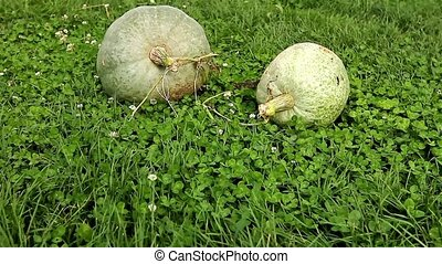 Pumpkins on the clover background - Gardener farmer take...