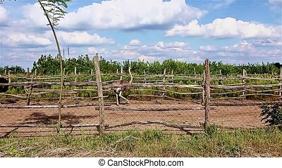 Ostrich are running in a ranch pen - Three big and beautiful...