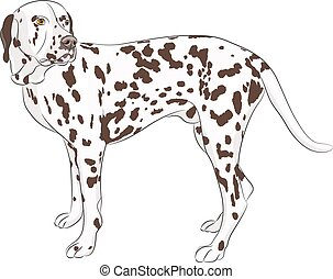 Vector Dalmatian - Large dog breed Dalmatian isolated on a...