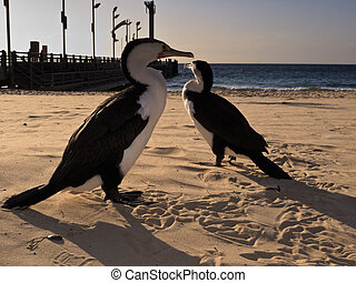 Cormorants walking on beach at Moreton Island, Australia -...