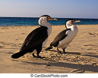 Cormorants waiting on the beach at Moreton Island - Moreton...
