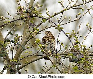 Song Thrush in tree