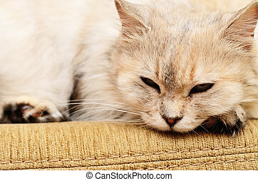 White cat on a sofa - White fluffy cat lying on a sofa