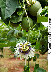 passion fruit, vitamin C, healthy food, passionfruit -...