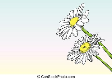 Two daisies against clear background