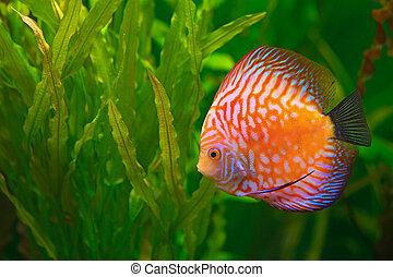 Discus in aquarium - Vividly colored discus ( Symphysodon )...