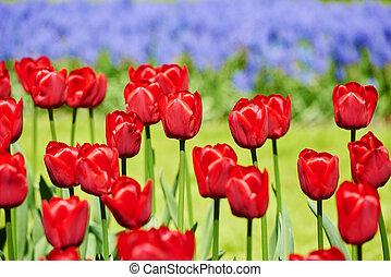 tulip flowers on field