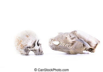 isolated bear and human skull - isolated old wild bear and...