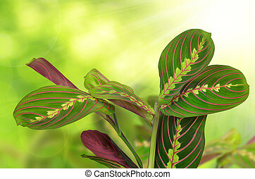 Maranta tricolor on green natural background