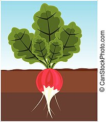 Vegetable radish in land - The Ripe vegetable radish in...