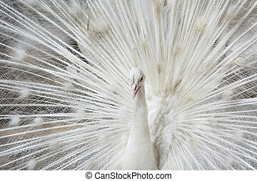White Peacock - White peacock They are not considered albino...
