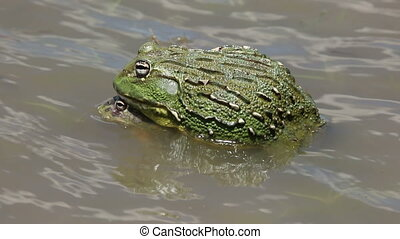 Mating African giant bullfrogs - A pair of African giant...