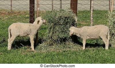 Merino sheep lambs - Small merino sheep lambs feeding in a...