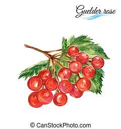 Watercolor guelder rose - Watercolor fruit guelder rose...
