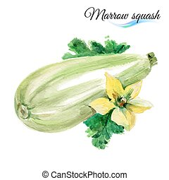 Watercolor marrow squash - Watercolor vegetables marrow...