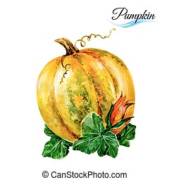 Watercolor pumpkin - Watercolor vegetables pumpkin isolated...