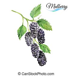 Watercolor mulberry - Watercolor fruit mulberry isolated on...