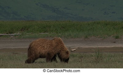 Grizzly Bear walking around - Grizzly Bear Ursus arctos...