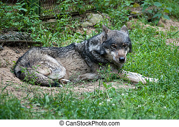 gray wolf - wild gray wolf lying on the grass