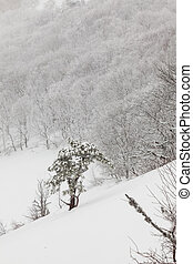 tree - snow-covered pine tree in a forest in spray test...