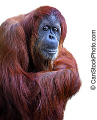 Orangutan on white background