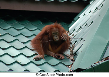 Orangutan Sat on Tiled Roof - Wild orangutan sat on a green...