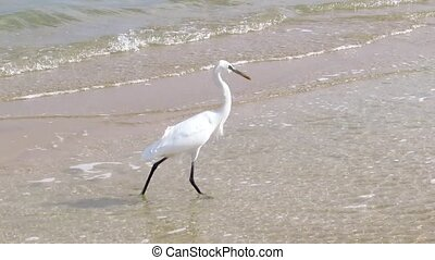 Egret hunts for fish in the water