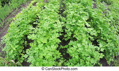 Garden bed parsley - In small garden of growing parsley