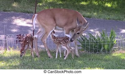Twin Whitetail Fawns - These Twin Whitetail Fawns are only...